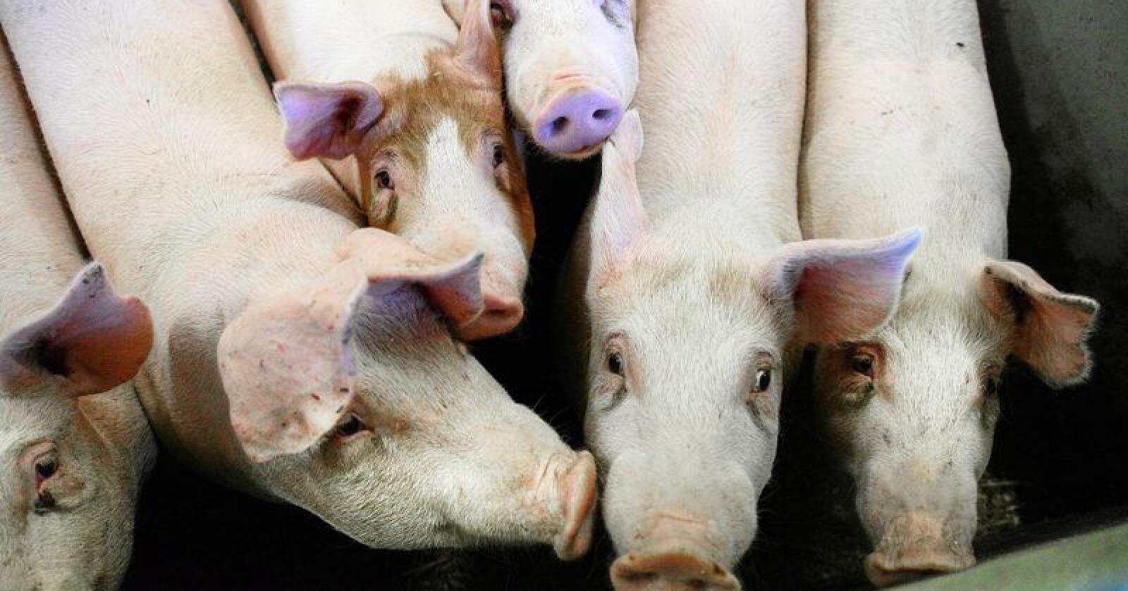Polen opplever sitt største utbrudd av afrikansk svinepest hittil. Illustrasjonsfoto: Siri Juell Rasmussen