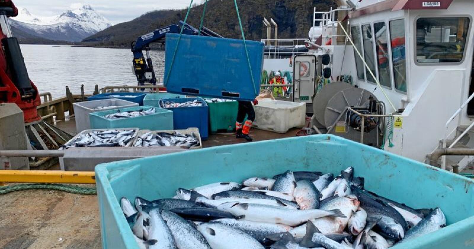 Ifølge Fiskeridirektoratet er over 13.000 tonn laks gått tapt, og minst ti lakseoppdrettere i Nordland og Troms er rammet av algedøden de siste ukene. Dermed står lakseslakteriene de eier i fylkene uten noe å gjøre framover. Illustrasjonsfoto: Elisabeth Balteskard / NTB scanpix