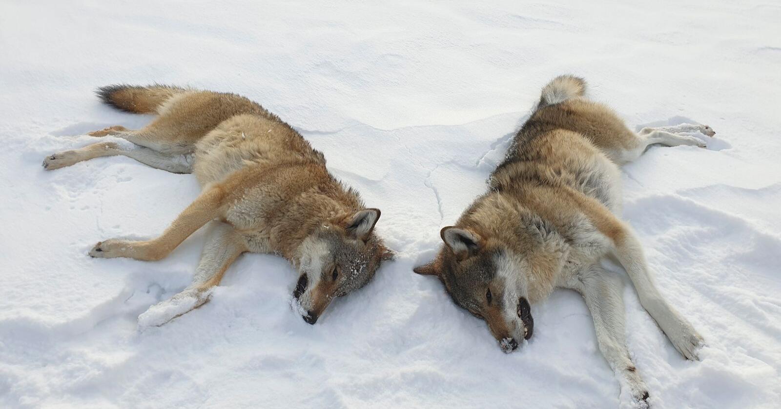 I november felte Statens naturoppsyn to ulver fra helikopter i Rendalen kommune etter at Miljødirektoratet ga fellingstillatelse. Foto: Statens Naturoppsyn / NTB scanpix