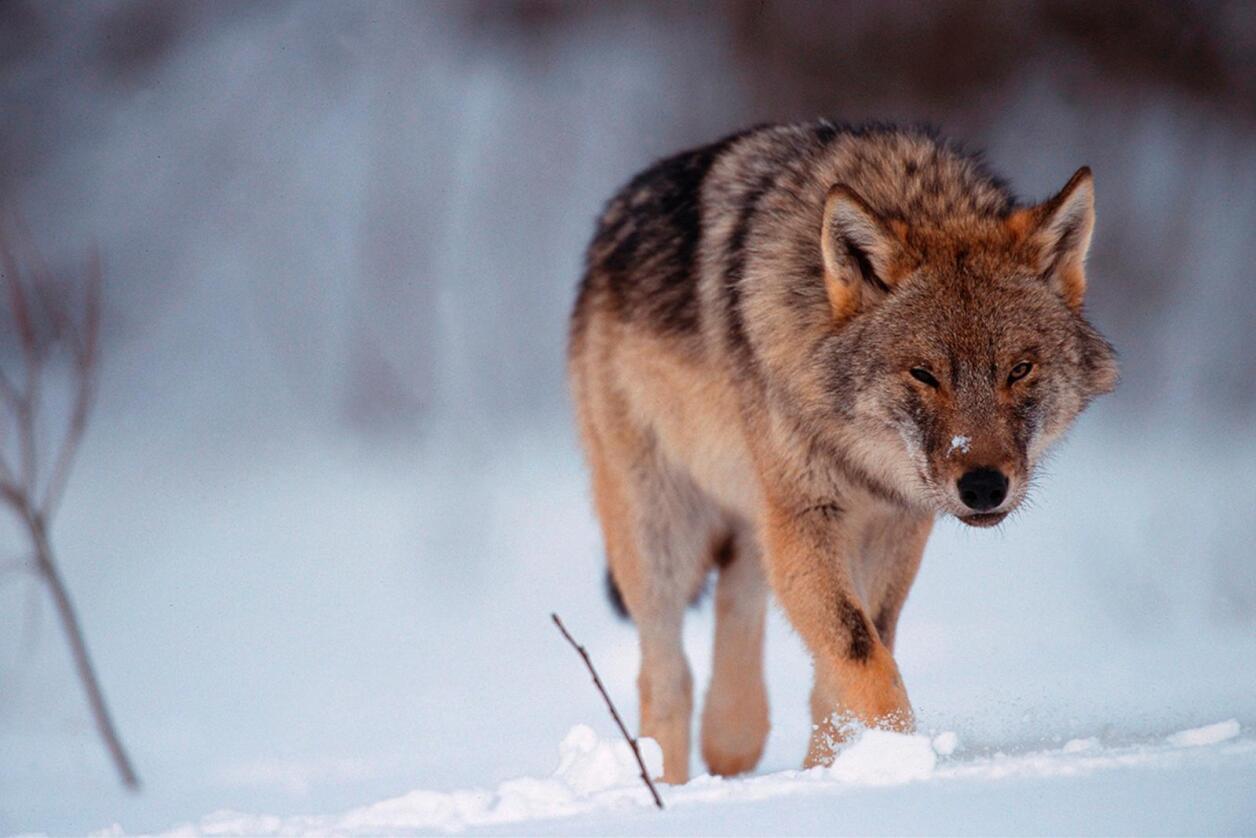 Det står ingen steder i Bernkonvensjonen at Norge må ha en levedyktig bestand av ulv. Men konvensjonen fastslår at vi må ha en bestand, og stiller strenge krav til når dyr kan felles. Foto: Staffan Widstrand