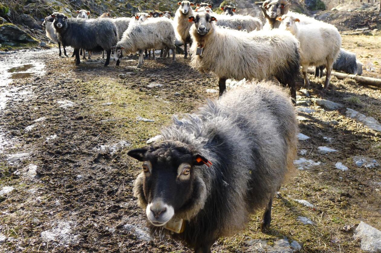 Vil du, gjennom Bonde-TV, vise fram din hverdag som sauebonde? Her sees spælsau på beite på Neshalvøya i Hordaland. Foto: Karl Erik Berge