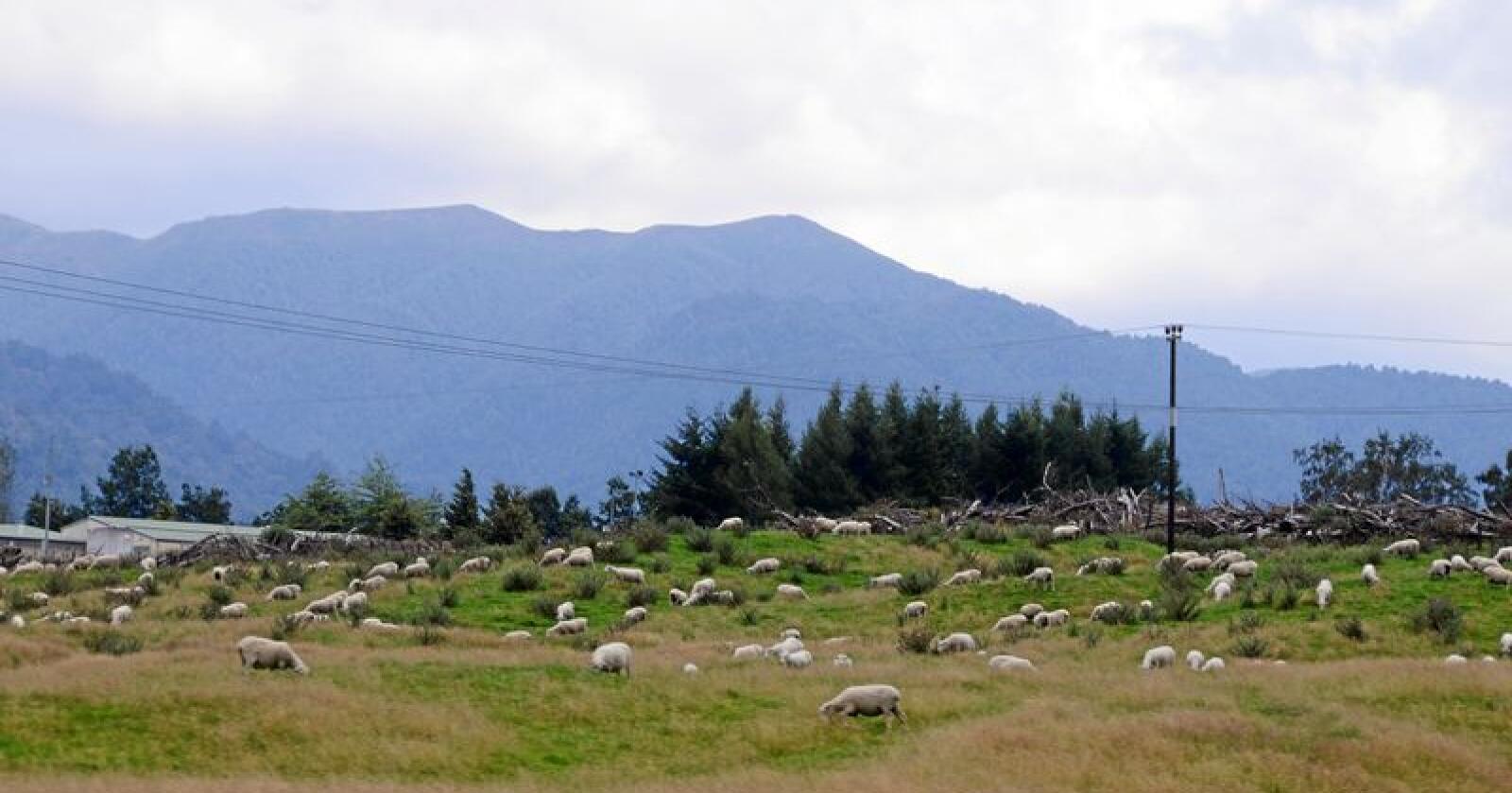 Sau og lam er storindustri på New Zealand. Det har ført til at de drøvtyggende ulldottenes klimagassutslipp står høyt på dagsorden også på den andre siden av kloden. Foto: Mariann Tvete