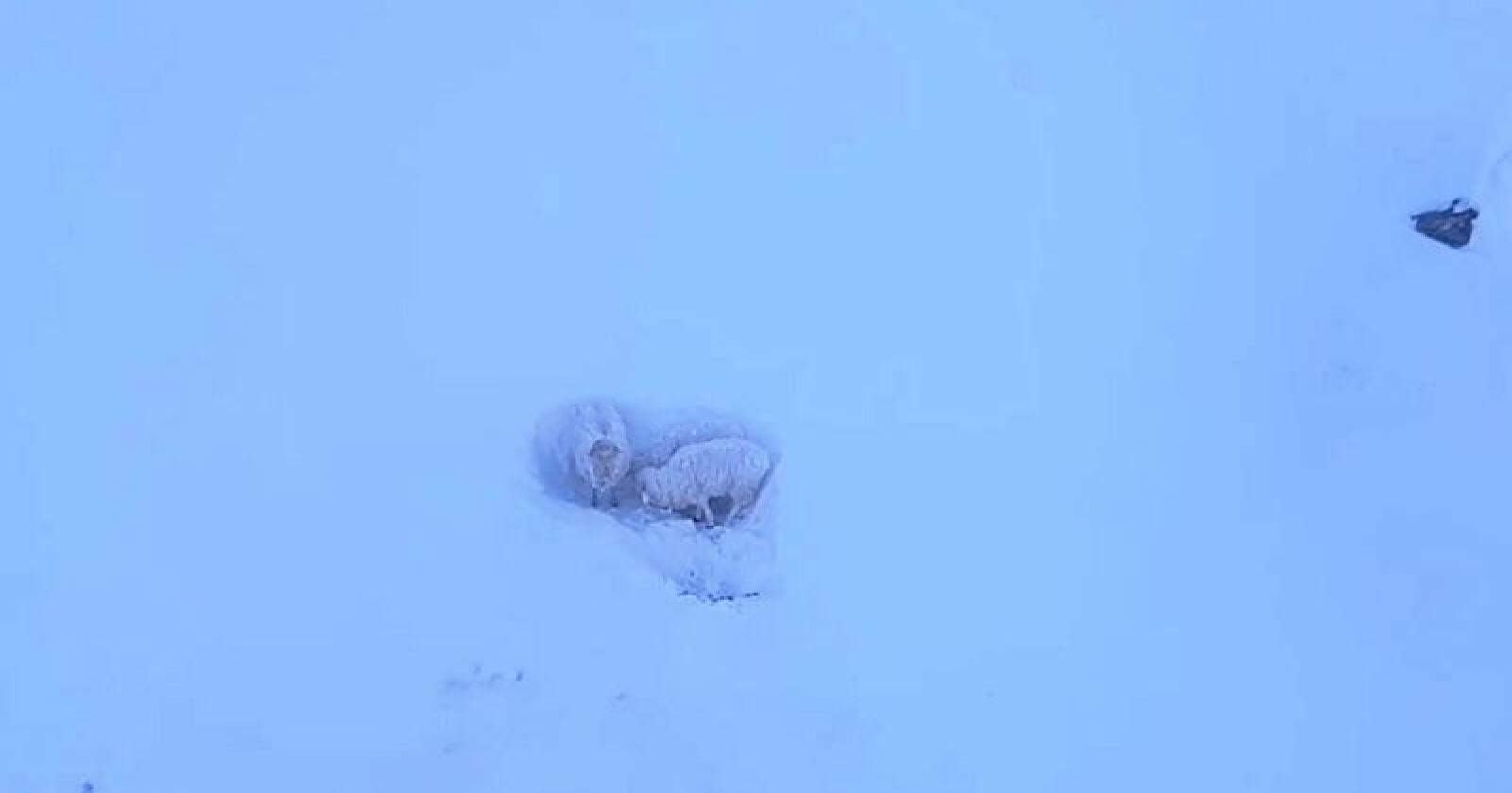 Sauen og de to lammen står bom fast i fjellet. Foto: Bernt-Ole Berntsen