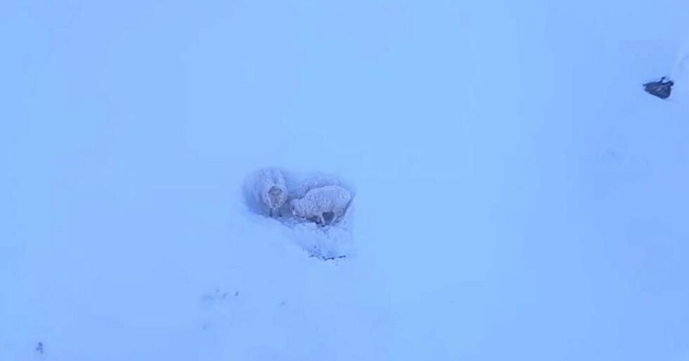 Sauen og de to lamma står bom fast i fjellet. Foto: Bernt-Ole Berntsen