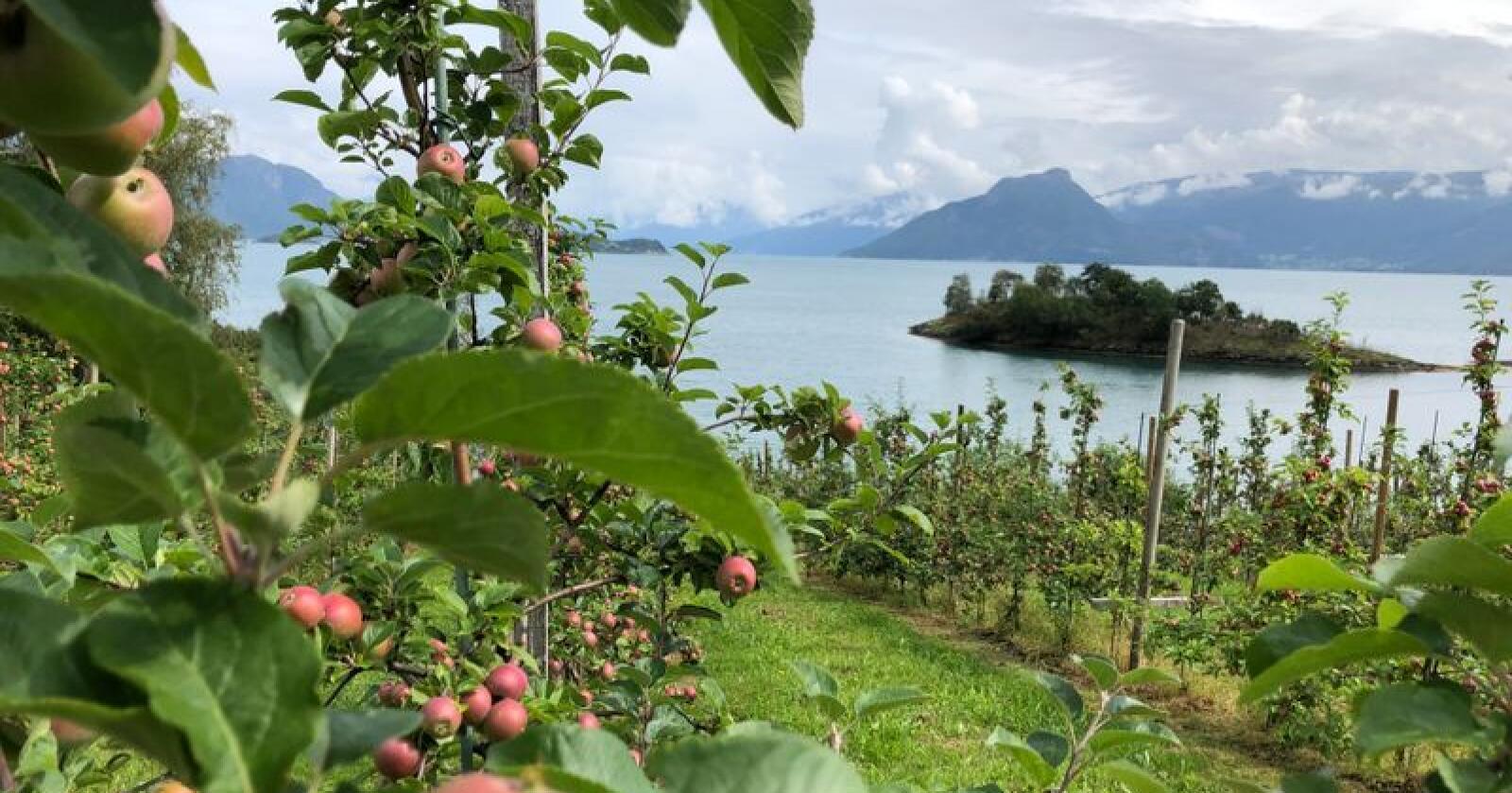 Eplehausten ser lovande ut på Vestlandet og andre stader i landet. Alle sortar har godt med eple. Her frå ein fruktgard på Vangdal i Kvam herad. (Foto: Karl E. Berge)