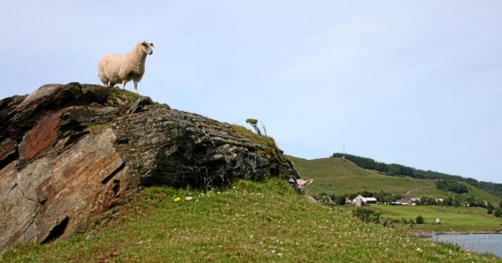 Det er ikke mye rovdyr i Rennesøy i Ryfylke, hvor denne sauen beiter. Foto: Bjarne Bekkeheien Aase