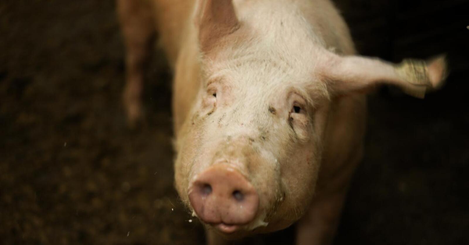 Ifølge Nortura har det totale salget av grillprodukter av svin hittil i år vært høyere enn de to foregående årene. Illustrasjonsfoto: Benjamin H. Vogl