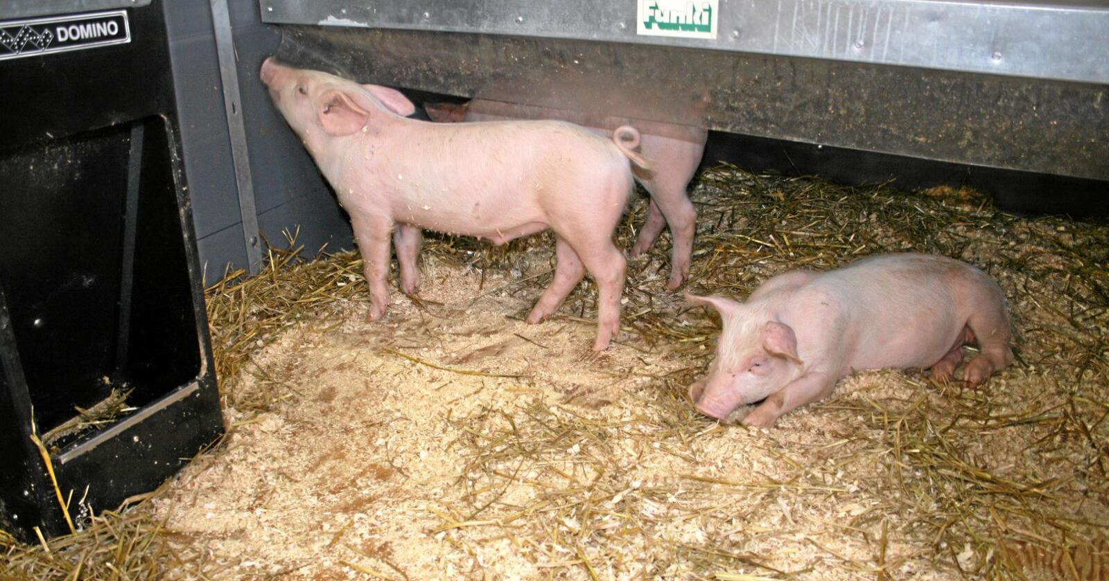 Avgiftskutt: Nortura går inn for å redusere omsetningsavgifta med 20 øre per kilo for både svin, storfe og lam i andre halvår. Redusert grensehandel og betre balanse i marknaden spelar inn. Foto: Bjarne Bekkeheien Aase