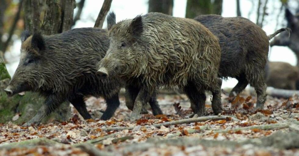 Afrikansk svinepest, med villsvin som fremste spreder, rykker stadig nærmere Norge. Nå får Norge kritikk av ESA for mangelfull beredskap mot den dødelige sykdommen. Foto: colourbox.com