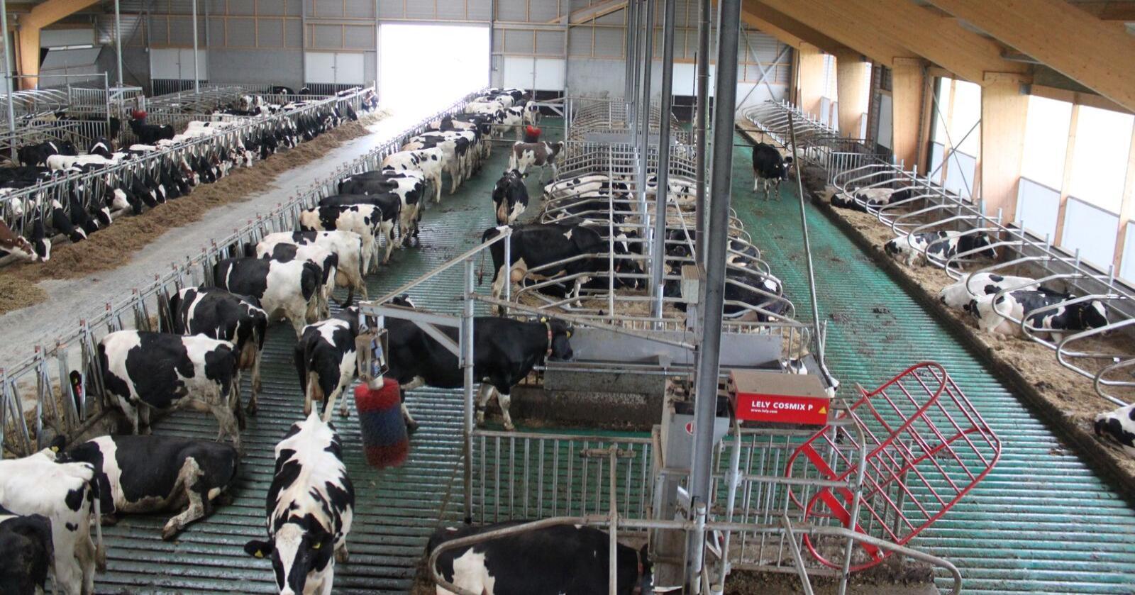 Ifølge International Dairy Foods Association dumpes for øyeblikket fem prosent av melkeproduksjonen i USA. Også i EU har mange melkebønder problemer. (Arkivfoto fra Nederland)