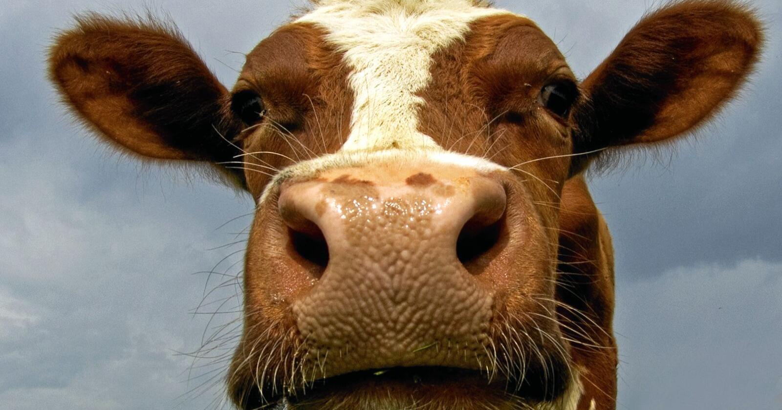 Agri Analyse gir inntrykk av at drøvtyggerne nesten bare bidrar med metan. De overser da at drøvtyggerne også er årsak til det meste av jordbrukets utslipp av lystgass og CO2, skriver forfatterne av debattinnlegget. Foto: Mostphotos