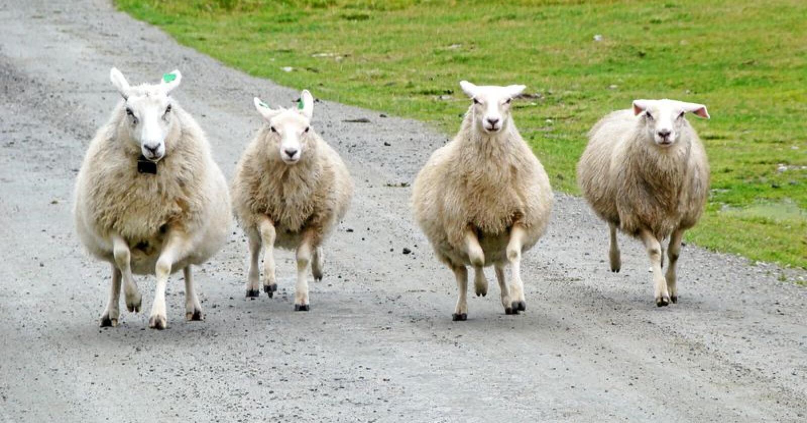 Landbrukspolitikken må legge til rette for at bøndene trygt kan få være med på å sette dyrevelferd på agendaen, skriver Eva Hustoft. Foto: Mikael Wikstrã¶M / Mostphotos