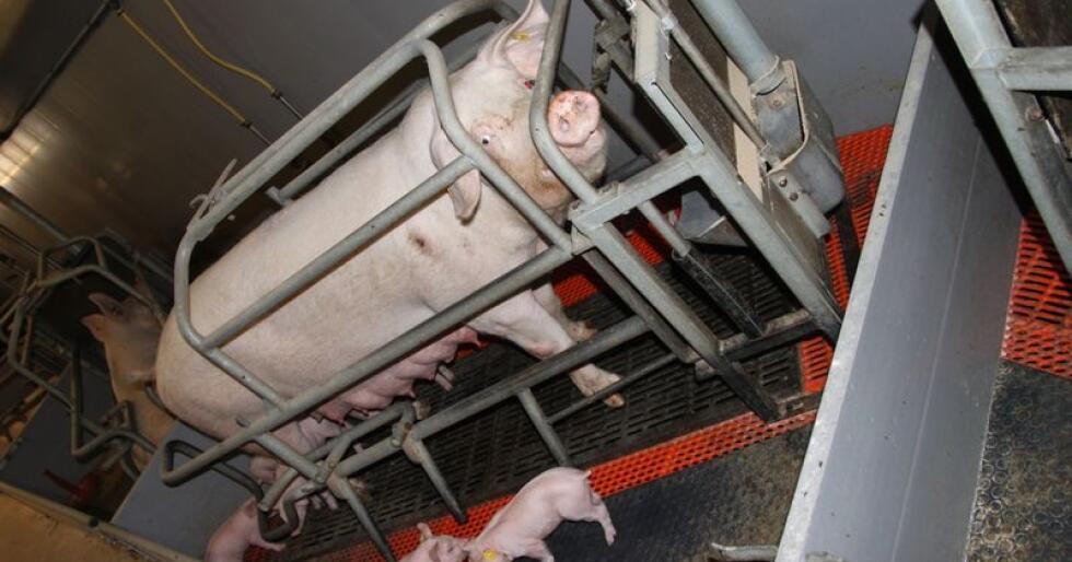 Utbruddet av Afrikansk Svinepest i Kina har gjort at Scandinavian Farms har avlivet 15 000 purker på grunn av at de ikke kan garantere at vannet eller fôret er fritt for ASF-smitte. Illustrasjonsfoto