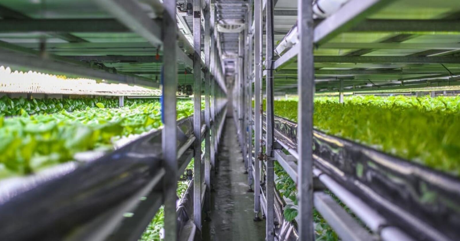 Hydroponisk: Oppstartsbedriften Nordic Harvest driver hydroponisk og dyrker grønnsakene i en gelebasert næringsløsning i stedet for jord. Foto: Nordic Harvest