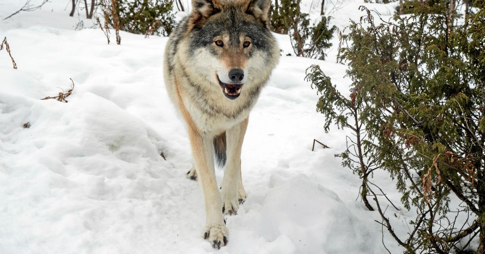Ulven er omstridt, det kommer til uttrykk også i sosiale medier. Foto: Heiko Junge / NTB scanpix