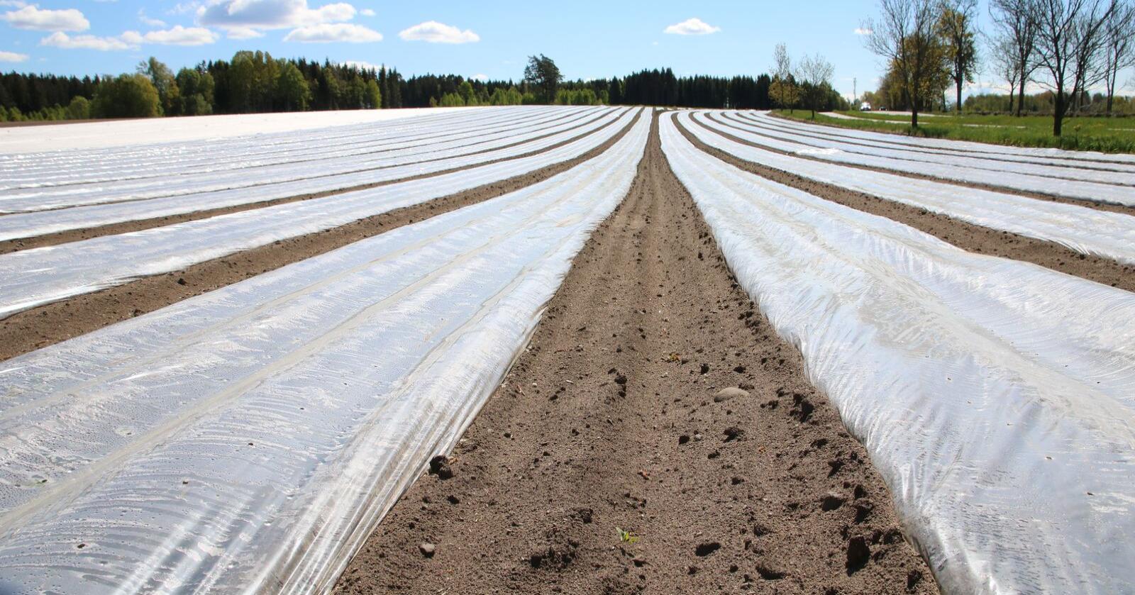 Konklusjonen er at konsentrasjonene av mikroplast i jordprøvene var lave, men med ett klart unntak: Et areal hvor såkalt ikke-biobasert bionedbrytbar plast av typen PBAT ble benyttet som jorddekke. (Illustrasjonsfoto: Karl Erik Berge)