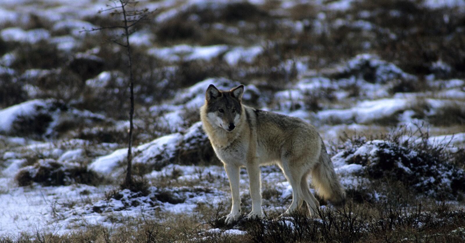 Ung ulvetispe ved Tunhovd. (Foto: Arne Nævra, Rovdata)