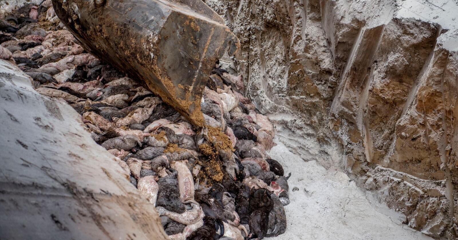 Rundt 9 millioner av Danmark om lag 17 millioner mink er avlivet så langt. Foto: Morten Stricker/AP/NTB scanpix