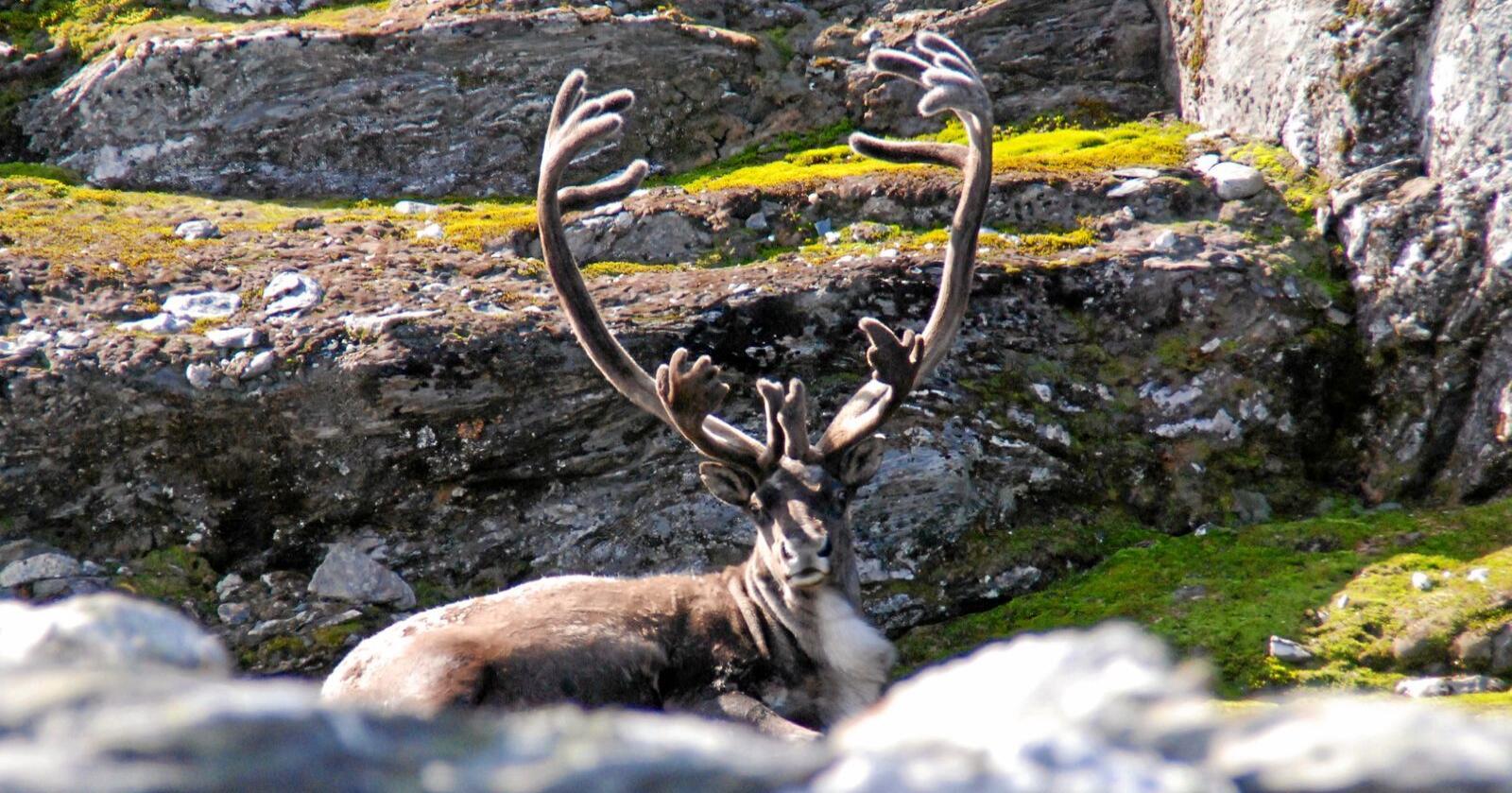 Skrantesjuke: Det er påvist skrantesjuke på villrein på Hardangervidda. Foto: Endre Lægreid