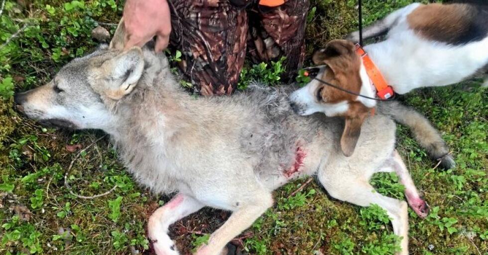 Den innleide svenske hunden snuser på sitt siste offer. Foto: Fellingslaget i Nord-Østerdalen