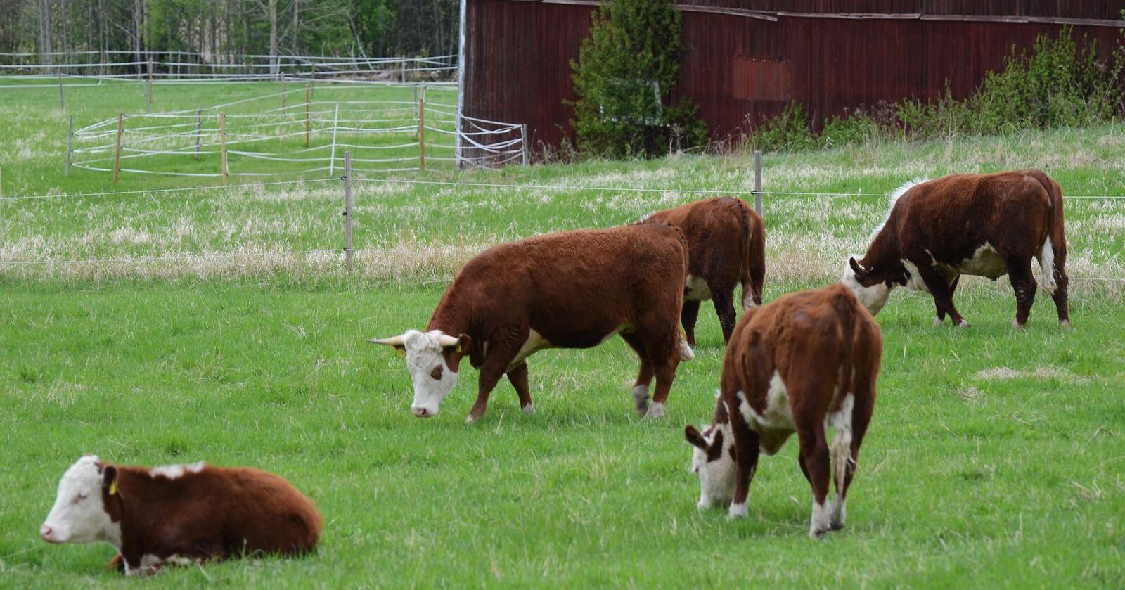 Kjøtt må med: Vi tror det er fullt mulig å øke etterspørsel og dyrking av norske matplanter, men målet om 60 prosent selvforsyning er i alle fall uoppnåelig uten at kjøtt som proteinkilde er en viktig del av løsningen, skriver innsenderne. Foto: Mostphotos