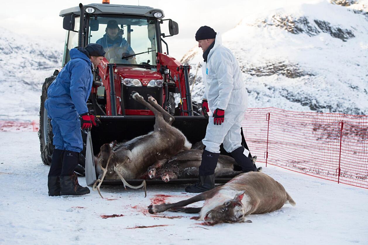 Slakt: Villreinen i Nordfjella blir slakta ned. Foto: Marit Hommedal / NTB scanpix