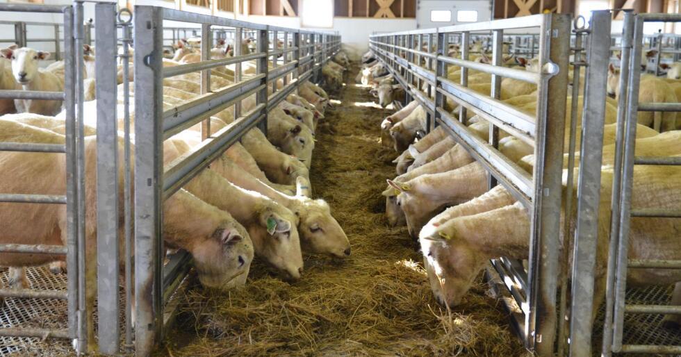 Det selges mer lammekjøtt. Jacob Simonhjell i Nortura tror salgsøkningen som både Nortura og KLF opplever skal være fanget opp i prognosen fra oktober. (Foto: Bjørnar Frønes)