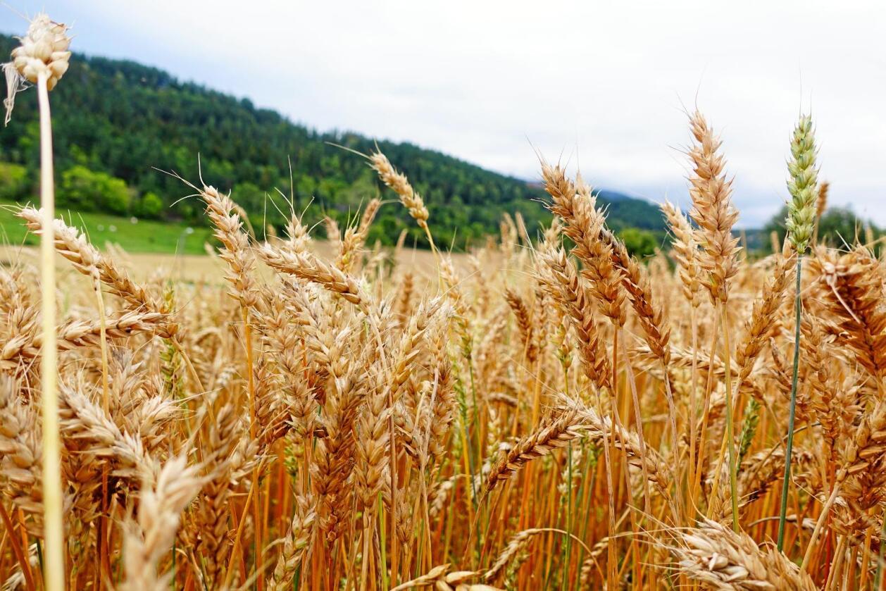 Prisene på korn har gått opp siden årsskiftet. Foto: Benjamin Hernes Vogl