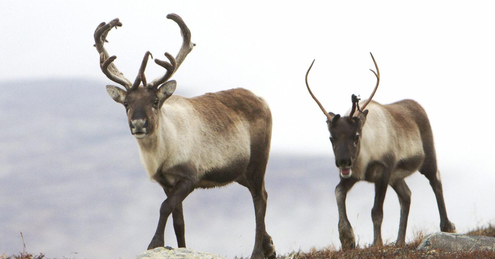 Noreg har den største bestanden av villrein i Europa. Foto: NTB scanpix / NPK