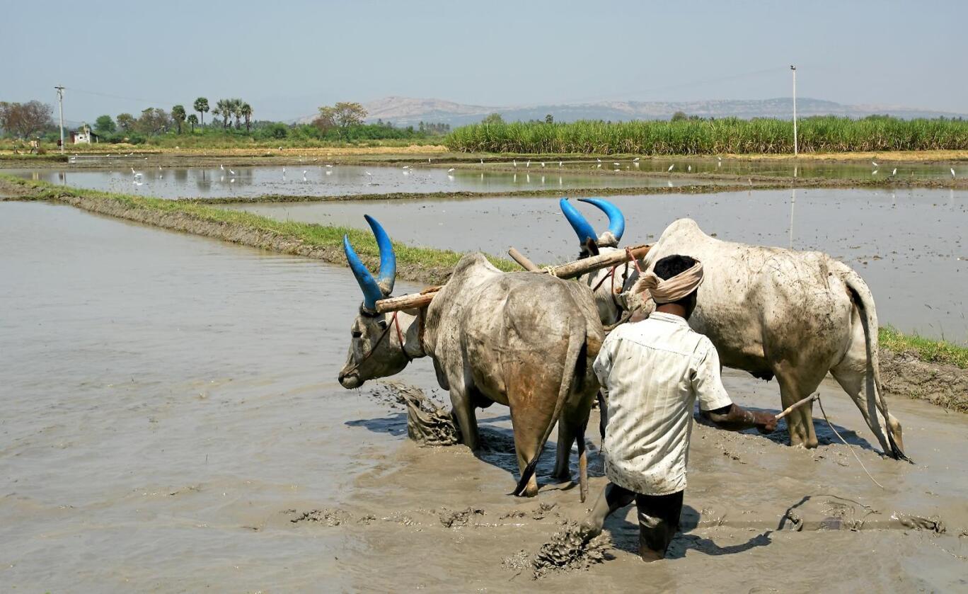 India tilbyr småbønder en fast pris for å kjøpe mat til matlagre. Det blir regnet som subisider i henhold til WTO-regelverket, og dermed bryter India grensa for hvor mye subsidier landet kan gi. Foto: Colourbox