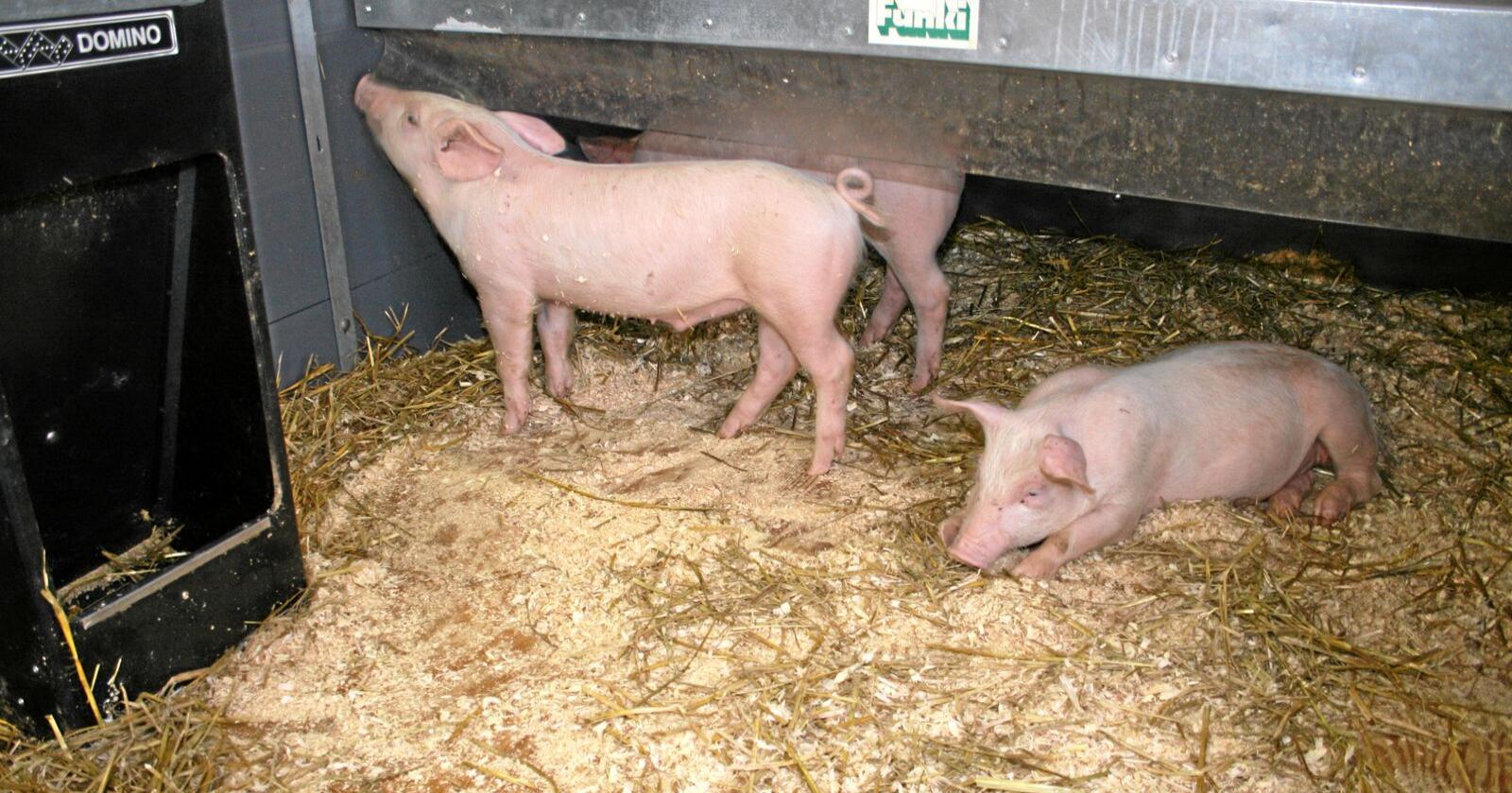 Kostnadsvekst: Prishoppet på kraftfôr gir mange grisebønder ein kostnadsvekst på opp mot 60.000 kroner i året, ifølgje Norsvin, som seier kostnadsauken kjem på toppen av mange år med pressa økonomi for grisebøndene. Foto: Bjarne Bekkeheien Aase