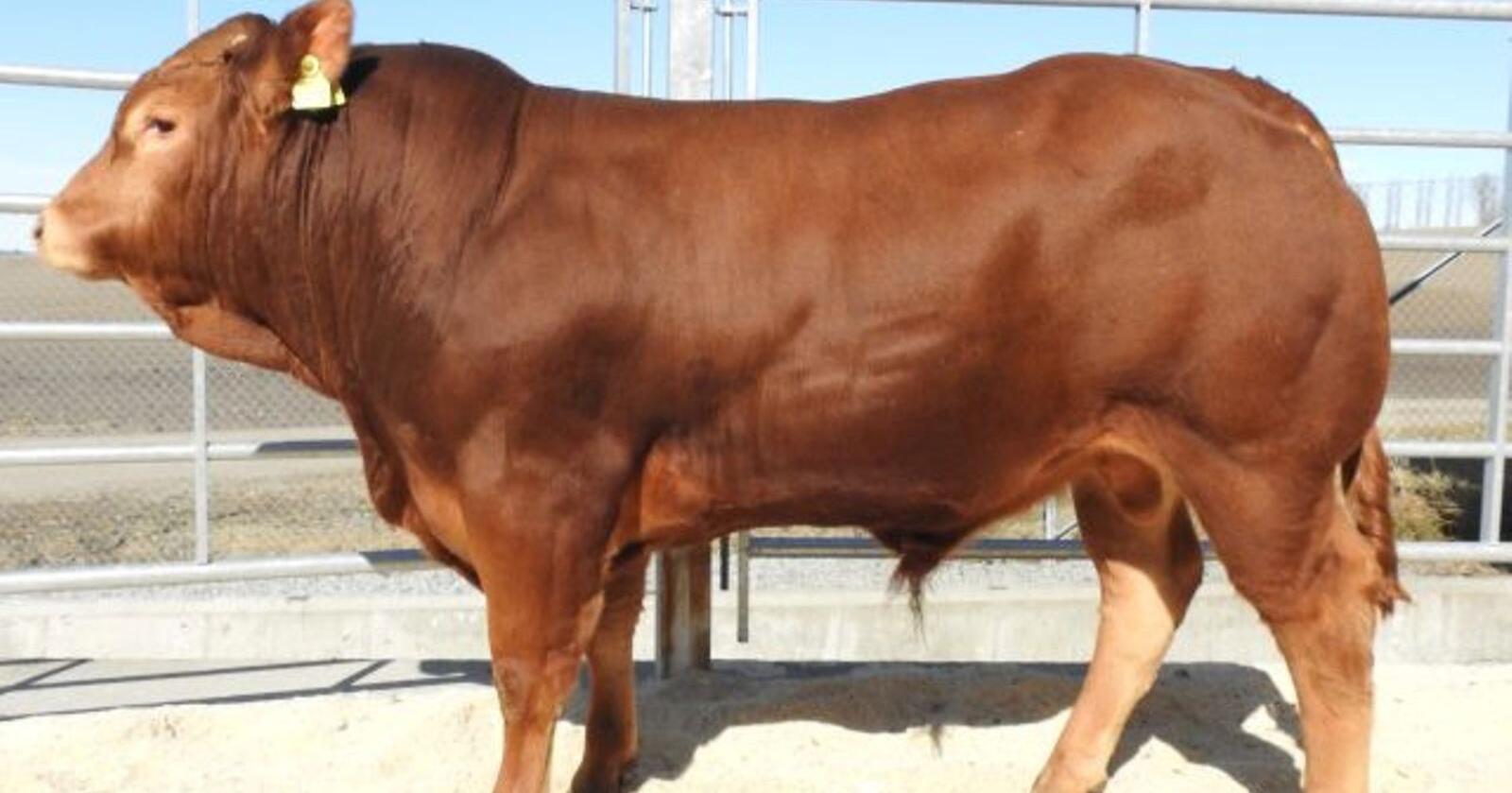 DYREST: Osvald av Viersdalen, fra oppdretter Leif Hartveit, ble Staur-auksjonens dyreste okse i 2020, med en pris på 165 000 kroner. Foto: Tyr