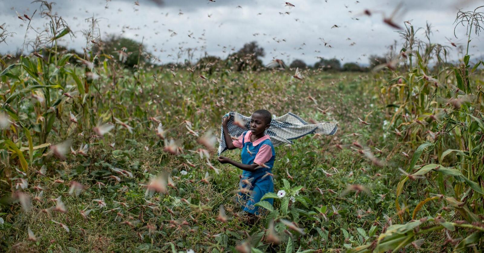 En bondedatter jager gresshopper som forsyner seg av avlingene i landsbyen Katitika i Kenya i forrige uke. Foto: Ben Curtis / AP / NTB scanpix