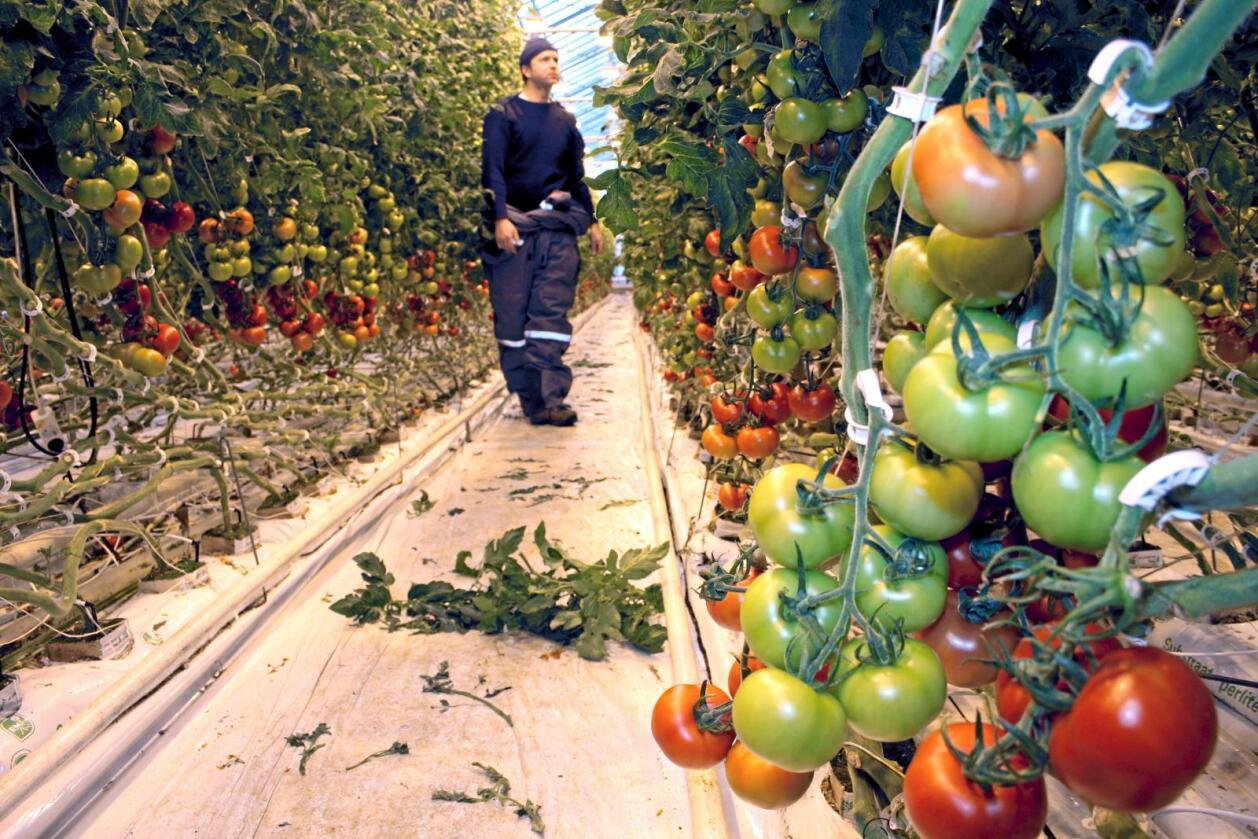 Forsking: Tomatnæringa, som sel tomatar for over ein kvart milliard kroner i året, ønsker meir forsking velkommen. Foto: Bjarne Bekkeheien Aase