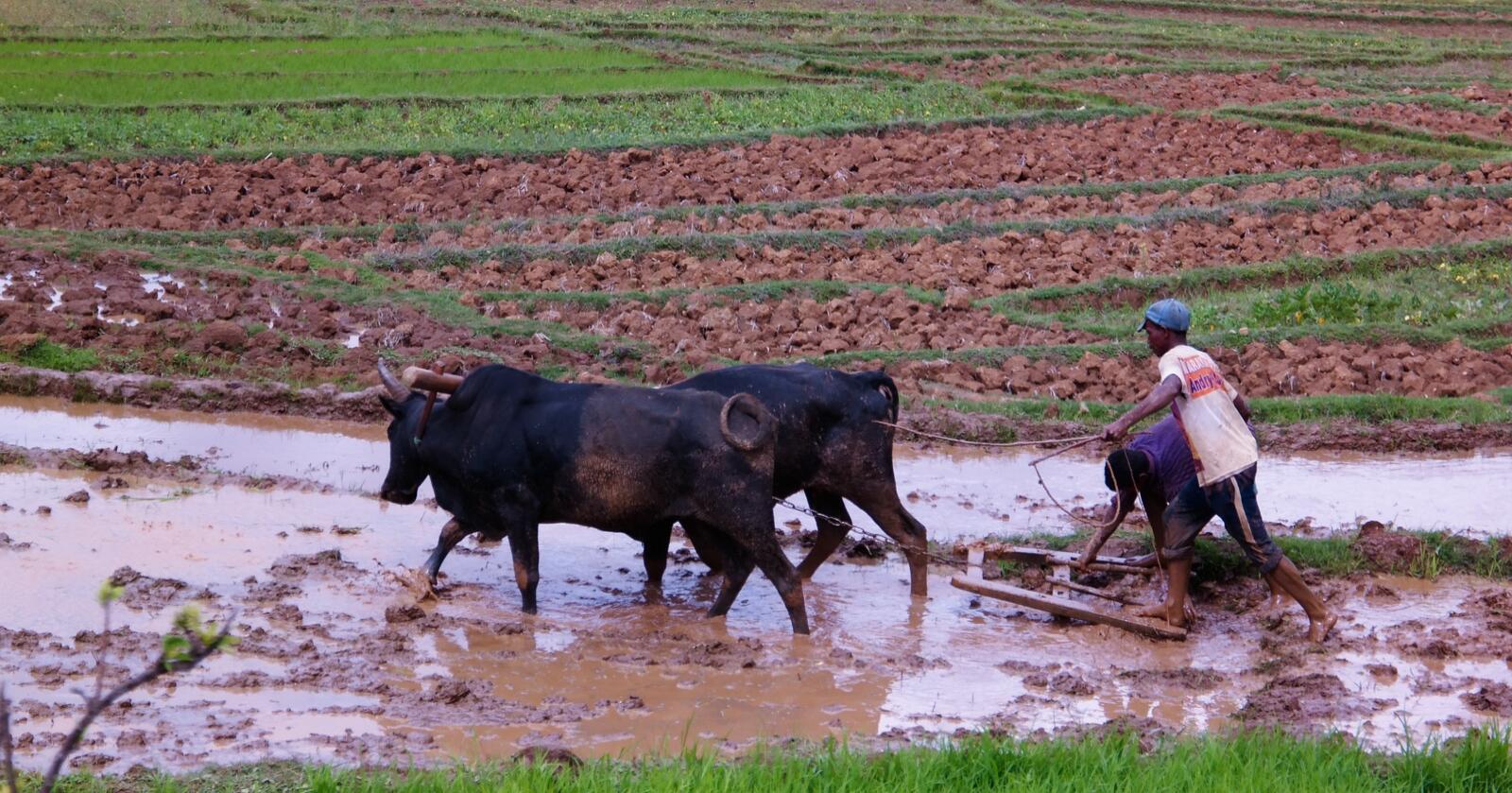Klima: På Madagaskar har ekstremtørke ført til at over en million mennesker står på randen av sult. Norge ønsker å bidra til at småbønder er i stand til å håndtere de værsituasjonene de nå står overfor. (Foto: Sergey Mayorov, Mostphotos)
