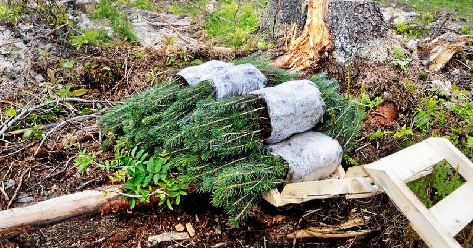 Skogplanting: Påskogingen av Norge må trappes opp, skriver Ola Gram Dæhlen. Foto: Mariann Tvete