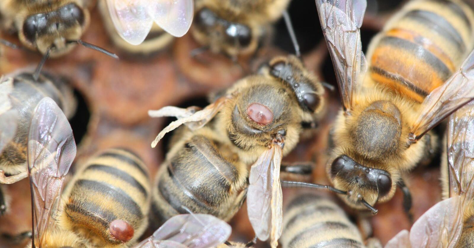 Bier med deformerte venger og varroamidd kan det bli ein slutt på med smarte bikuber. Foto: Norges birøkterlag