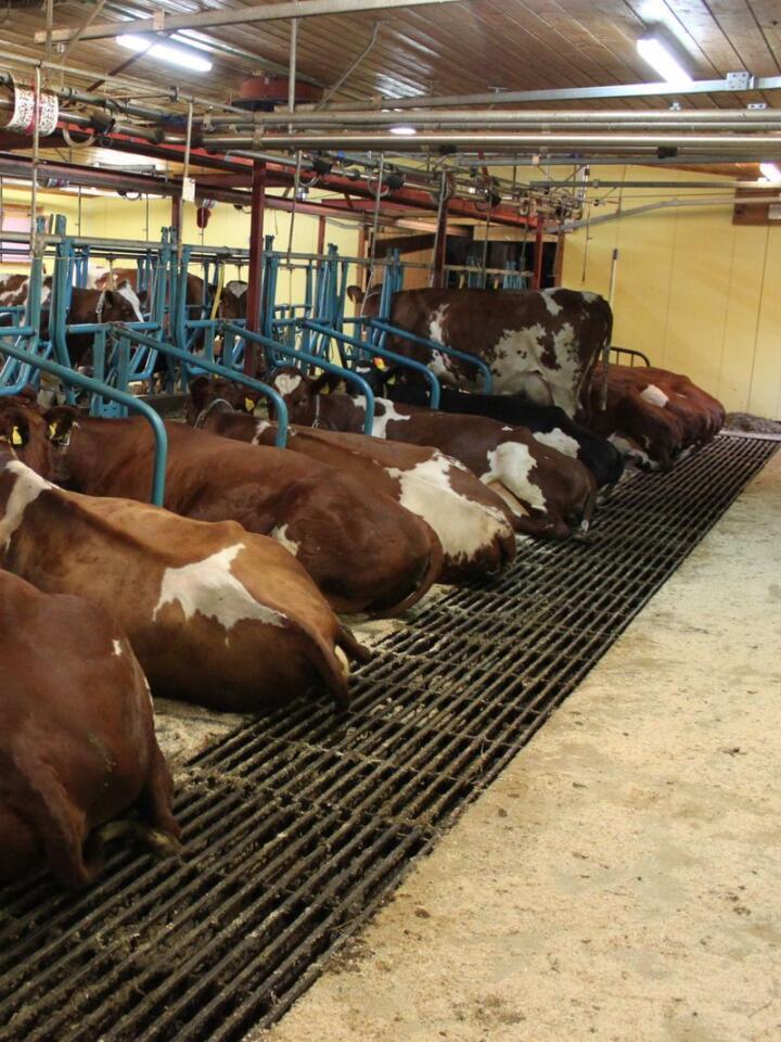 SLIPPES: Innen 2034 skal norske kyr gå i løsdrift og ikke stå på bås. Arkivfoto: Norsk Landbruk