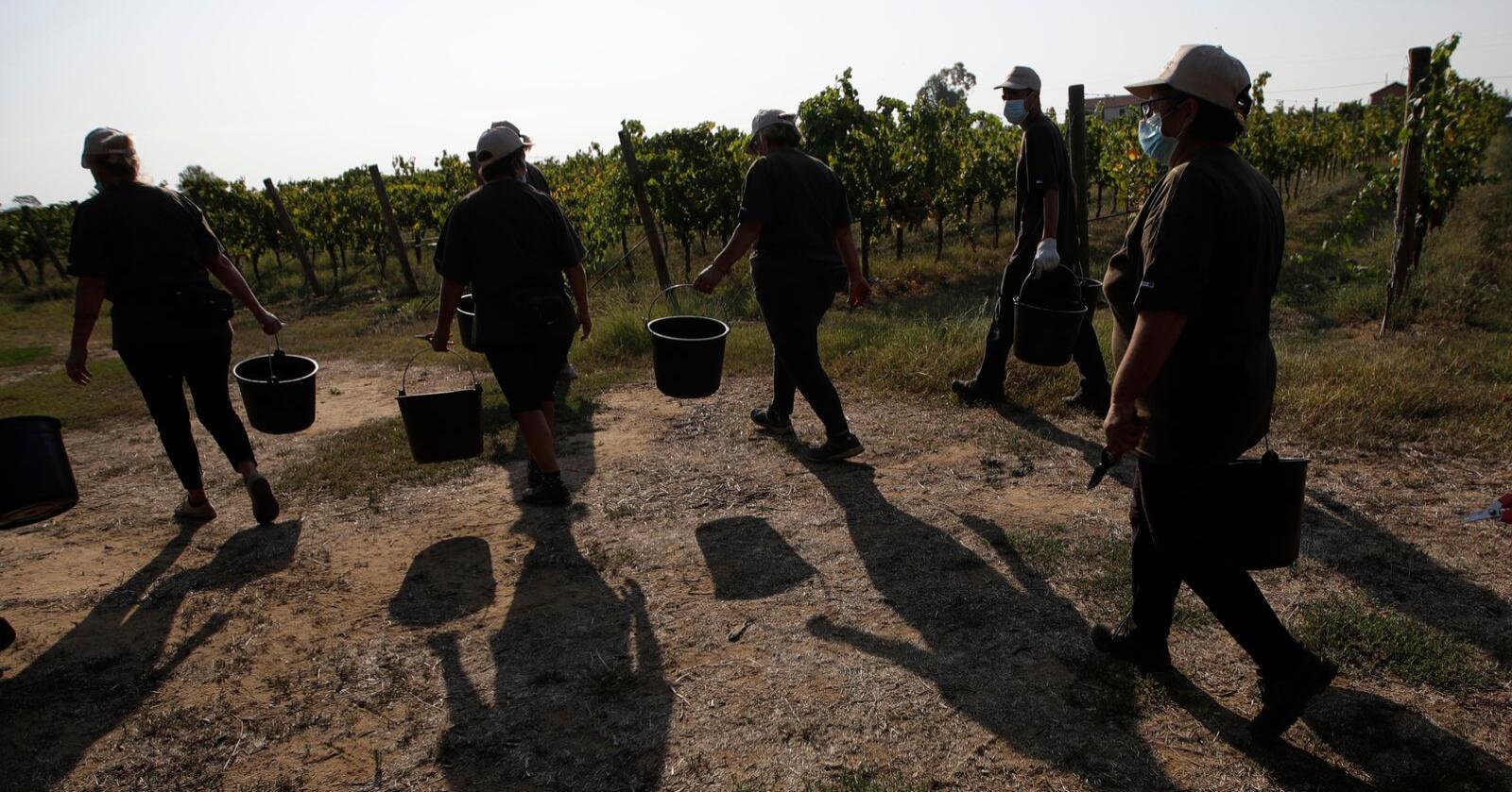 400.000 landbruksarbeidere i Italia står ifølge FN i fare for å bli utnyttet. Over 100.000 antas å være utsatt for umenneskelige forhold. Disse arbeiderne plukker vindruer i Latina-provinsen. Foto: AP / NTB