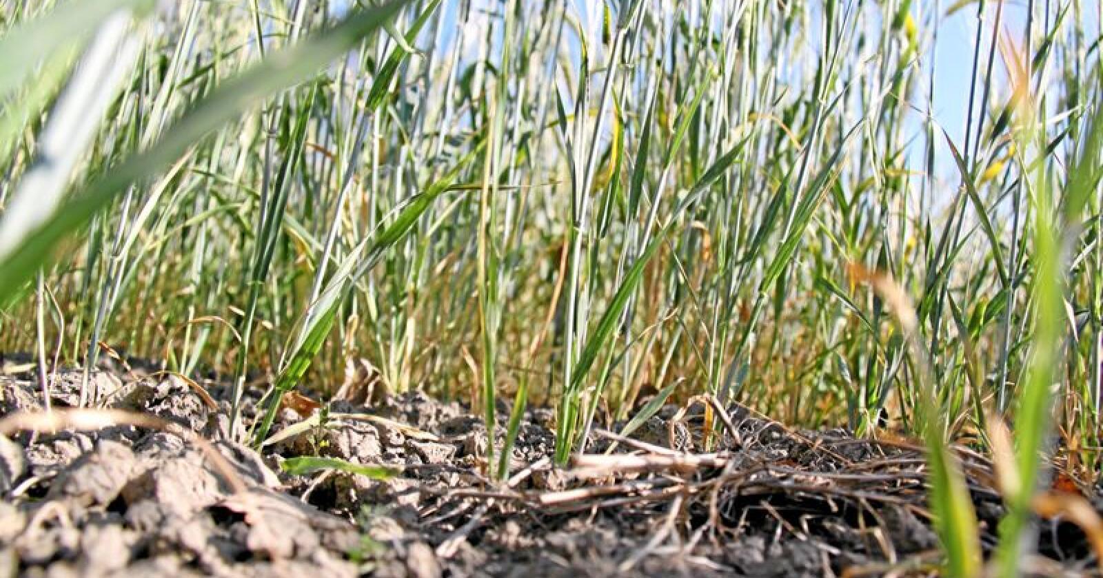 Tørke: 2018 var sommeren da plantene som fanger CO2 og gir mat til folk og dyr sluttet å vokse. Foto: Svein Egil Hatlevik