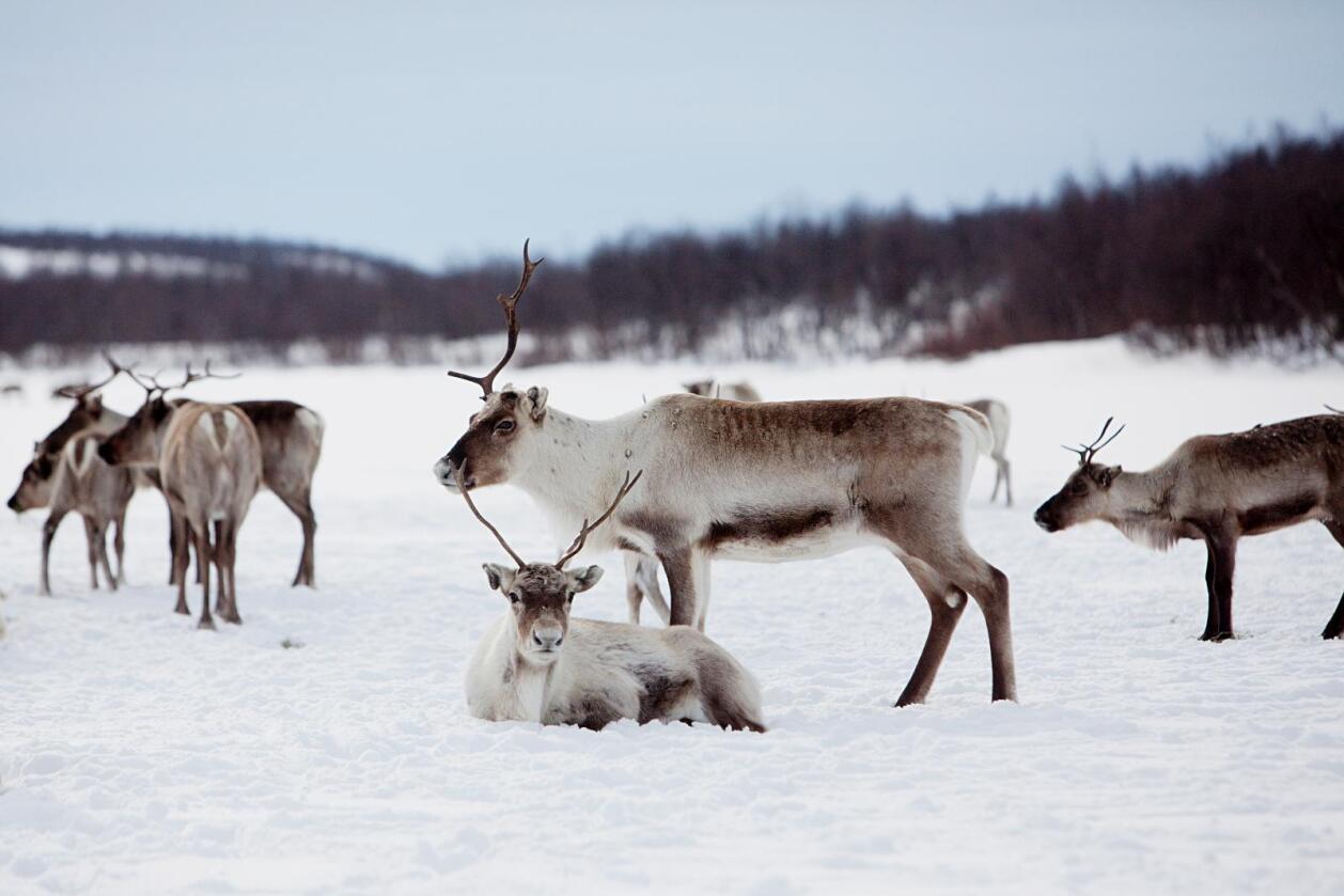 To reineiere fra Finnmark er frifunnet for å ha drevet omfattende dyremishandling og tyveri av rein. Illustrasjonsfoto: Stian Lysberg Solum / NTB scanpix