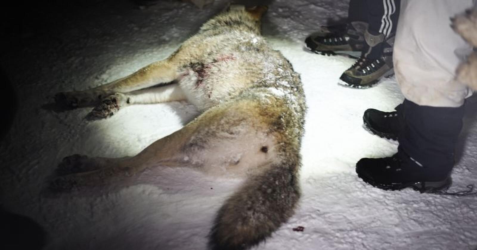 Lisensjakta på ulv tillates både i Sverige, Finland og Norge. Her en ulv som ble felt i Rendalen i Hedmark i fjor vinter. Foto: Benjamin Hernes Vogl