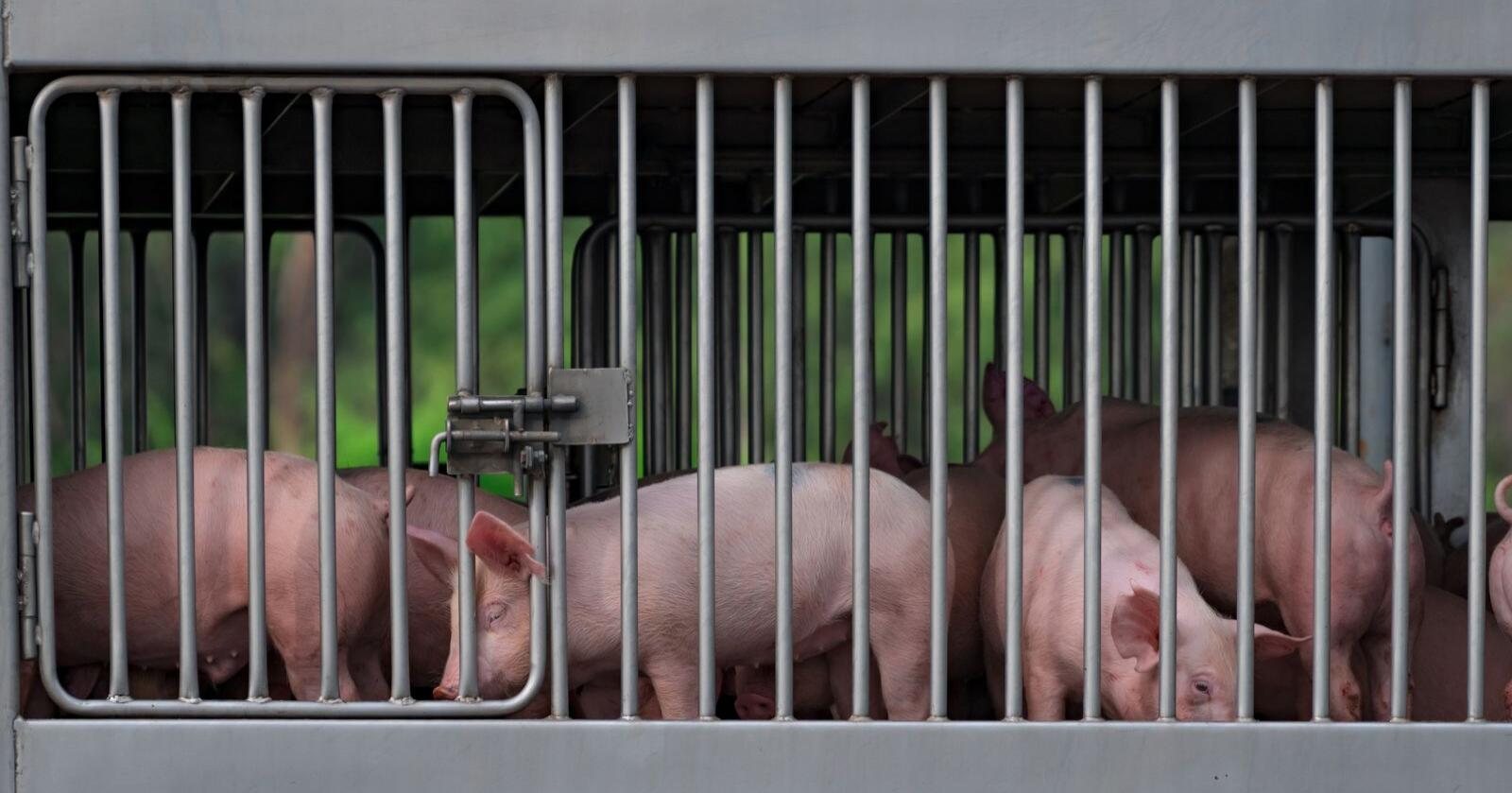 Transport av svin i Kina. Illustrasjonsfoto: Mostphotos