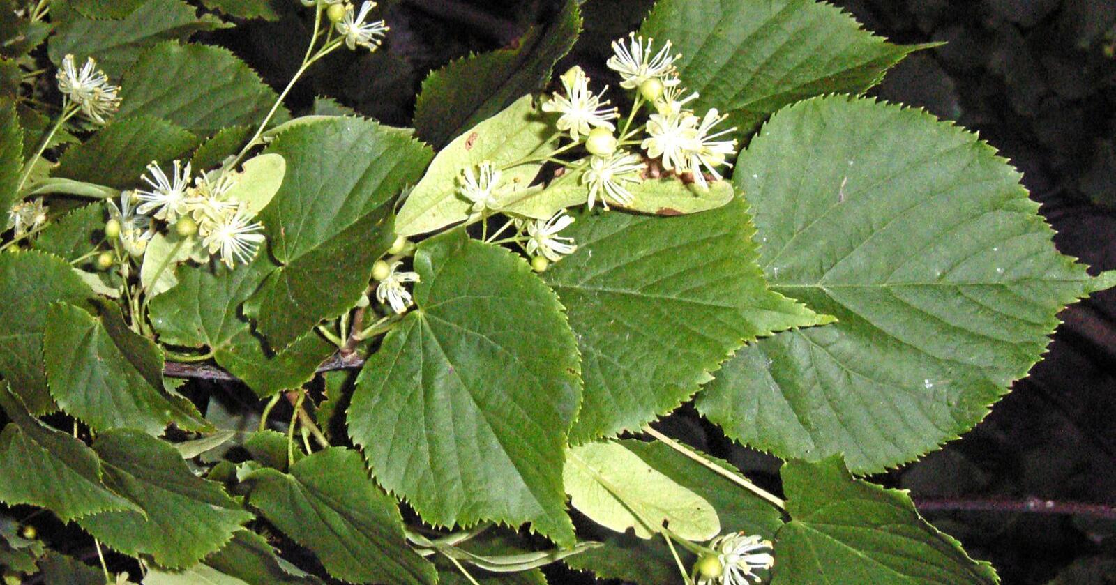 Pop hos bier: Lind har blomster som er populære hos honningbier og andre insekter. Foto: Åsmund Asdal