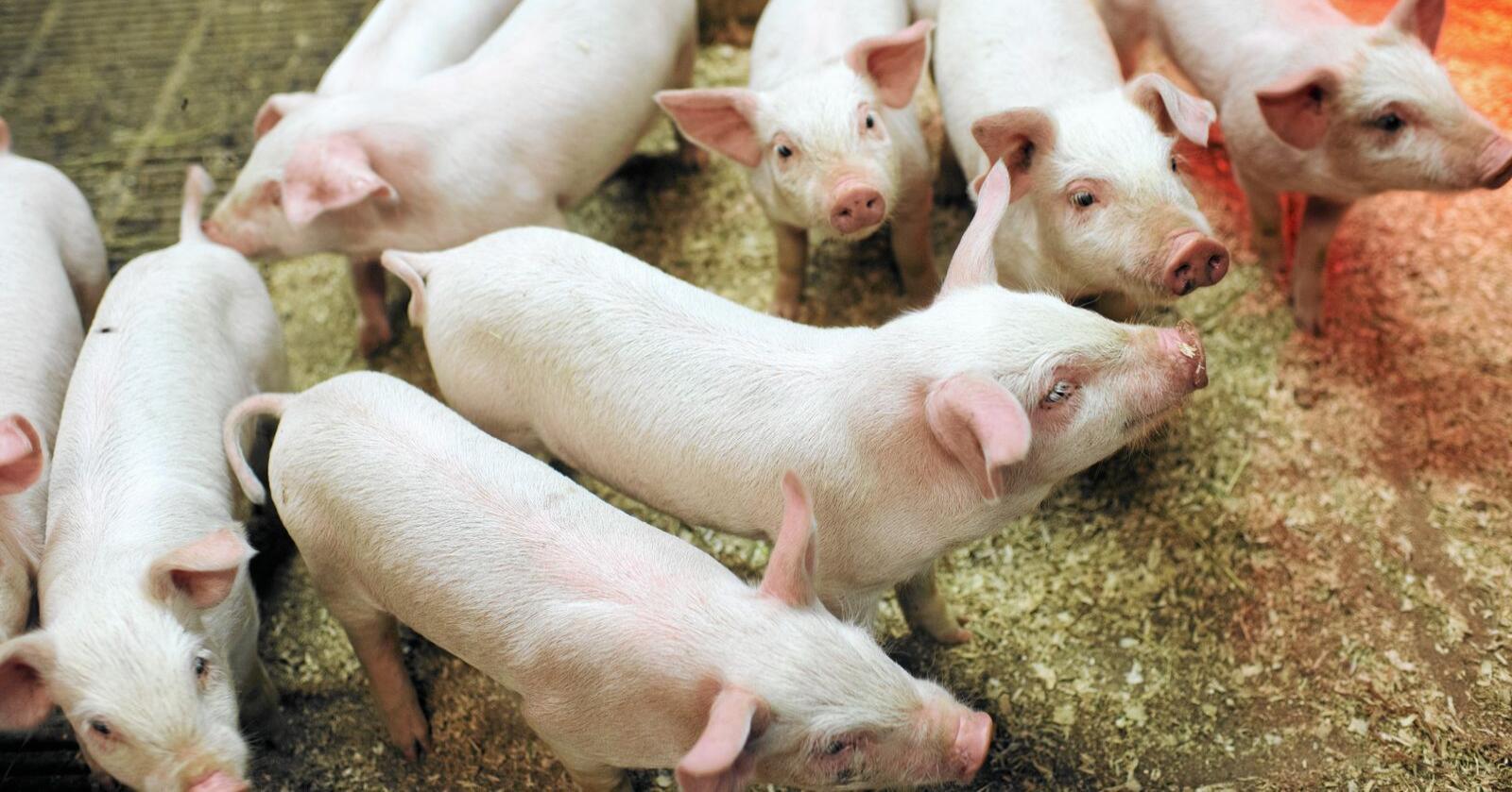Saneres: Svinebesetninger som blir smittet av LA-MRSA slaktes ned, og grisehusene må gjennom et omfattende saneringsprogram. Foto: Ketil Blom Haugstulen