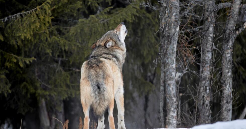 Inngjerda ulv: Denne ulven held til på Langedrag. Foto: Heiko Junge / NTB scanpix