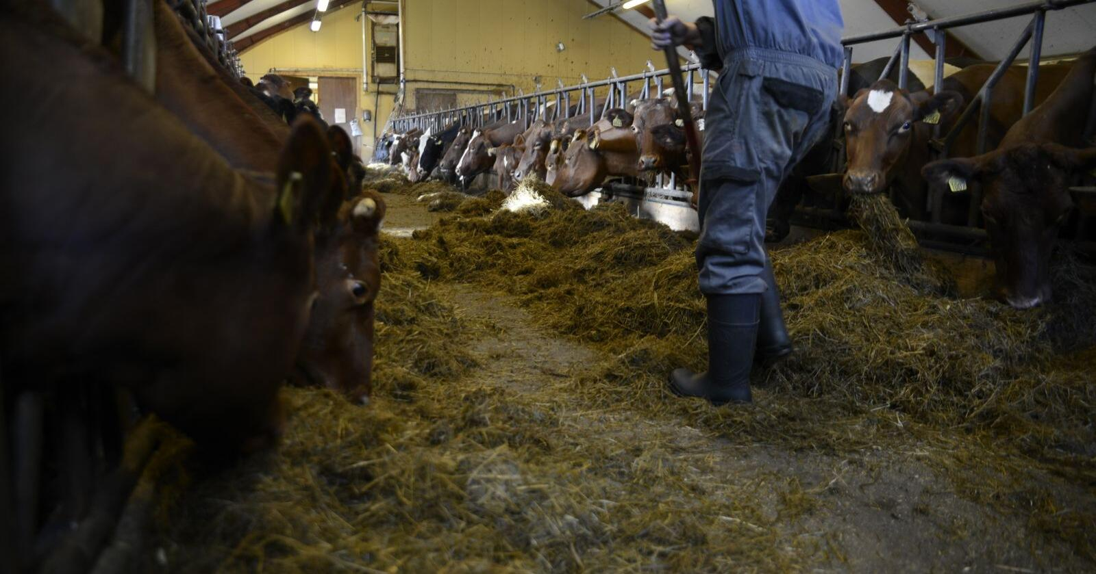 Antall melkebønder er nede på 7150 produsenter i Norge. Illustrasjonsfoto: Mariann Tvete