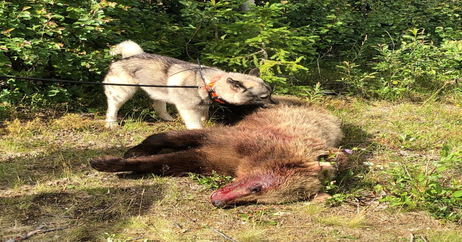 Det var en hannbjørn på rundt 2,5 år som ble felt i Tynset. Fylkesmannen ga muntlig tillatelse til skadefelling. (Foto: Privat)