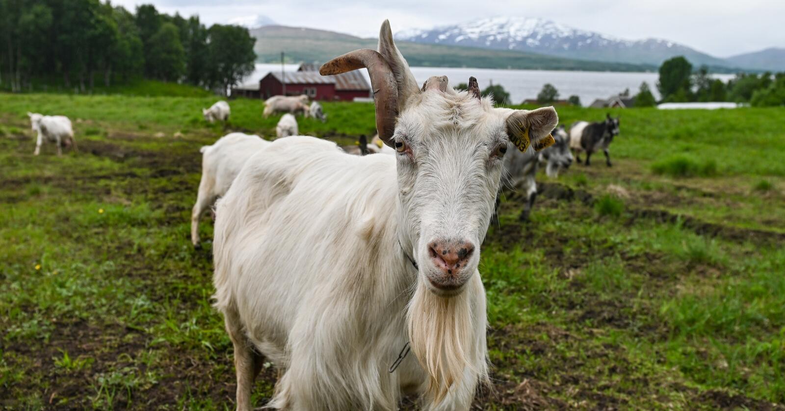 Dyrehelse: Over 30 geitehold, de aller fleste i Trøndelag, har i år fått påvist saueskabbmidd. En eventuell overføring til og spredning i sauepopulasjonen, er vurdert som alvorlig og kostbar. Geitene på bildet sliter ikke med saueskabbmidd. (Illustrasjonsfoto: Marie Hatlevoll)