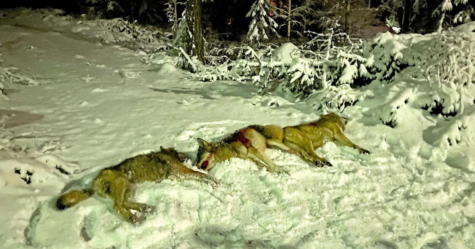 Totalt er det nå felt 10 ulver i Kynnareviret. Foto: Kristian Noer
